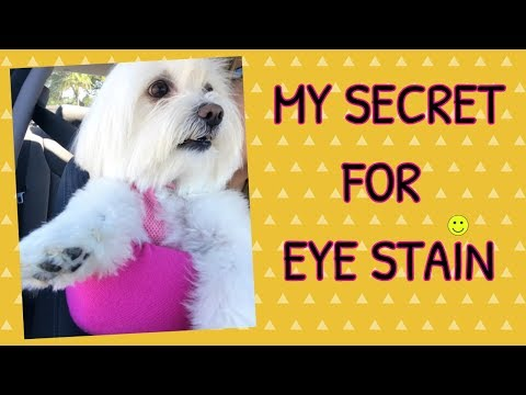 HOW TO CLEAN EYE STAINS, White DOGS, Coton de Tulear I Lorentix