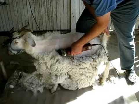 Cashmere goat shearing