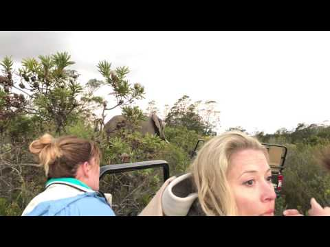 When an African Elephant in musth gets too close!!  Terrifying!!!