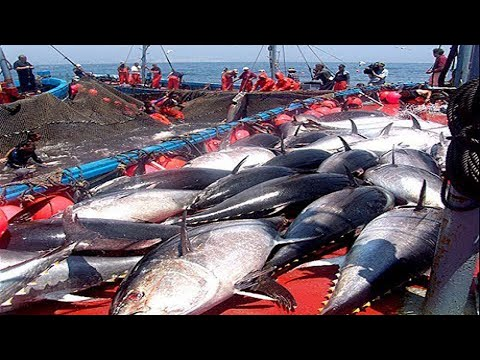Everyone should watch this Fishermen's video - Catch Hundreds Tons of Giant Bluefin Tuna Fish