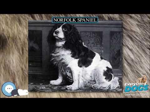 Norfolk Spaniel  Everything Dog Breeds