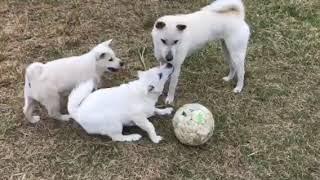 3頭の子犬の子のうち、大きい1頭は吹雪の子。あと、2頭は他所で生ま...