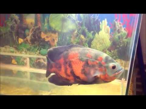 Big size healthy oscar fish for sale in delhi youtube for Large oscar fish for sale