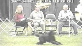 Agility Trial, Poodle Club Of America