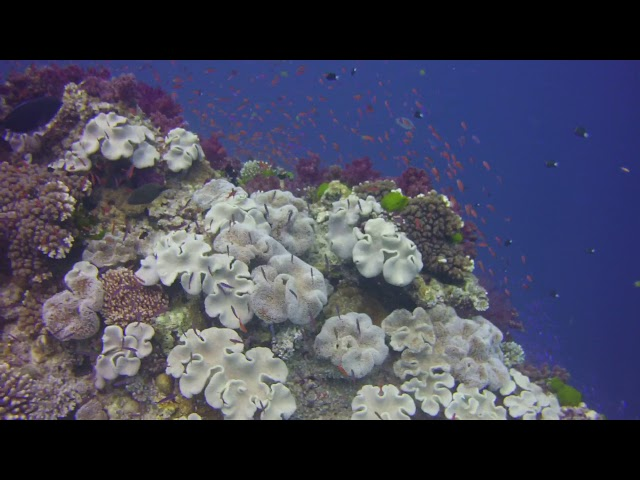 Coral reef video by Laura Tolbird