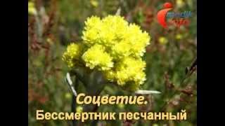 Видеогид. Лекарственные растения и травы. Часть2.(Видеогид по лекарственным растениям покажет в картинках лекарственные травы и их названия. Подробные опис..., 2013-09-15T17:29:07.000Z)