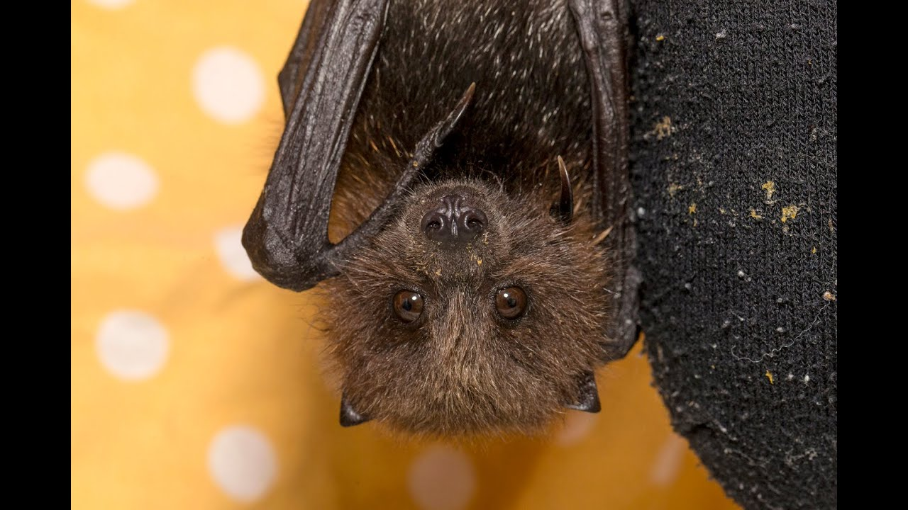 Vampire Bat - National Geographic Kids