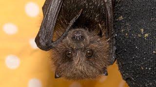 San Diego Zoo Kids - Fruit Bats