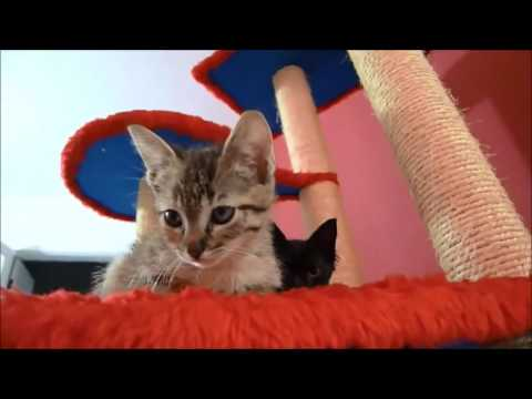 Two Kittens Playing with their Cat Tree