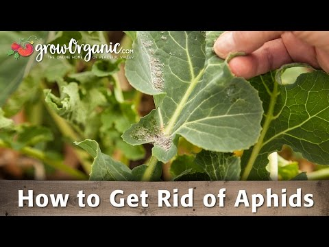 Getting Rid of Aphids