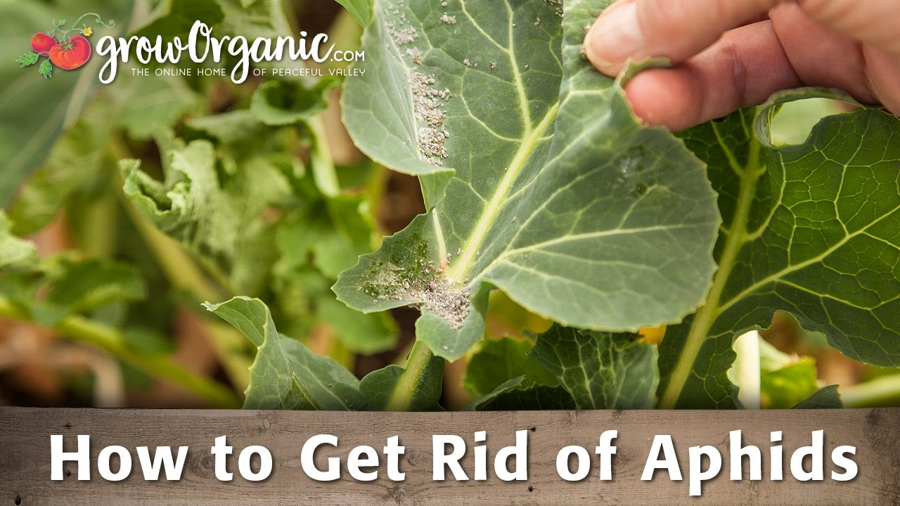 How to get rid of aphids 73