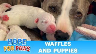Pregnant homeless Pit Bull goes into labor FAST!  Happy Mother's Day!!! ❤️❤️❤️
