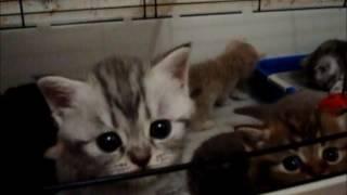 ПРОДАЖА британских котят  Д  р  17 августа 2016 г