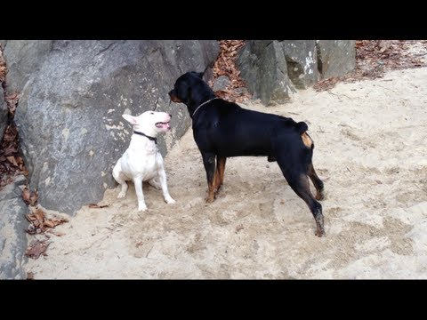 Pit Bull Vs Rottweiler Mastiff Size Bully Vs Huge