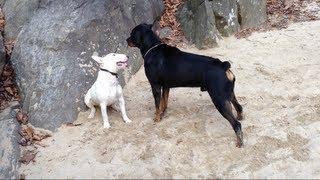 Rottweiler Alpha Male
