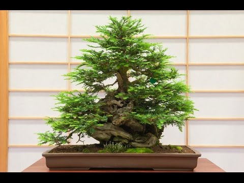 Redwood Bonsai Tree Youtube