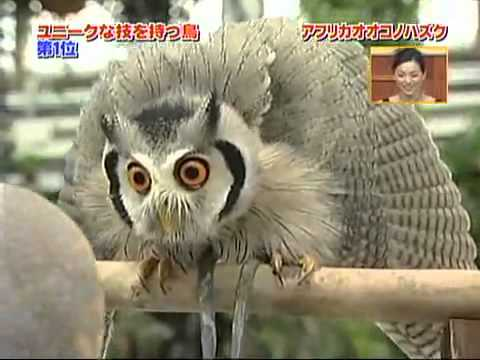 Meet the incredible Japanese transforming owl