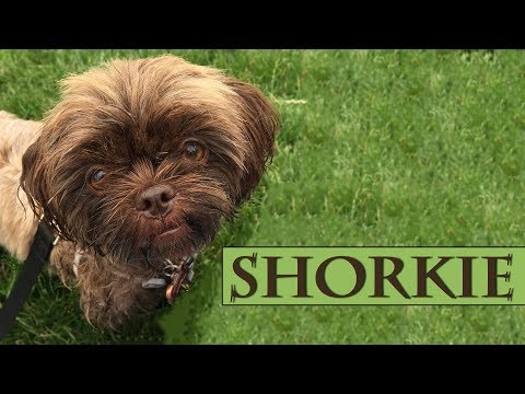 Shorkie - Complete Guide For A Shorkie Puppy Owner