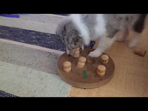 Shetland sheepdog puppy is mind training