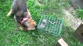 Puppy Earthdog Training