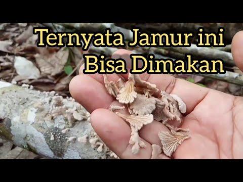 Jamur Grigit/Kayak merupakan jamur yang tumbuh alami di batang pohon karet yang sudah mati. #Ladang .