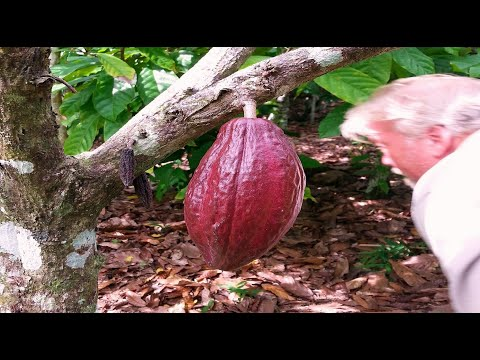 "Won With Nature ""Caribbean Cacao Cornucopia"""