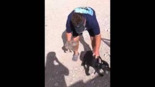 Labrador Retriever Puppy Gets A Bird!