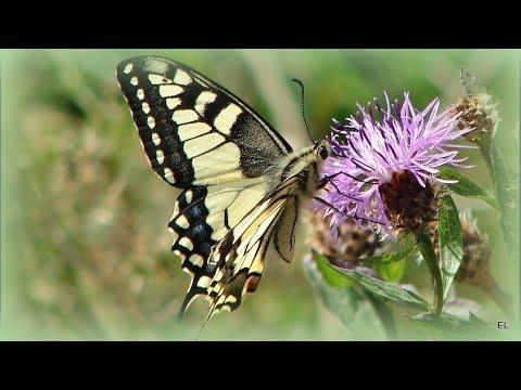 M O T Y L E  ●═● PAŹ KRÓLOWEJ●═●  BUTTERFLIES ●═● Waltz of the butterfly