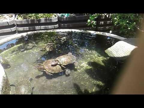 Tortugas en mi estanque doovi for Estanque tortugas casero