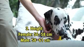 Dalmatian Dog Breed Information  PuppiesParadise