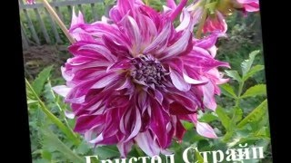 Цветущие георгины в саду  Названия и Фото