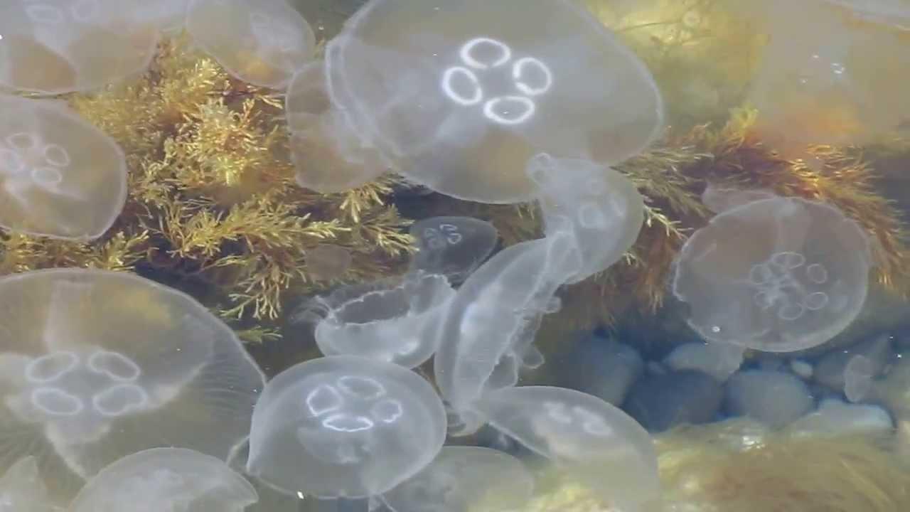 медузы чёрного моря фото