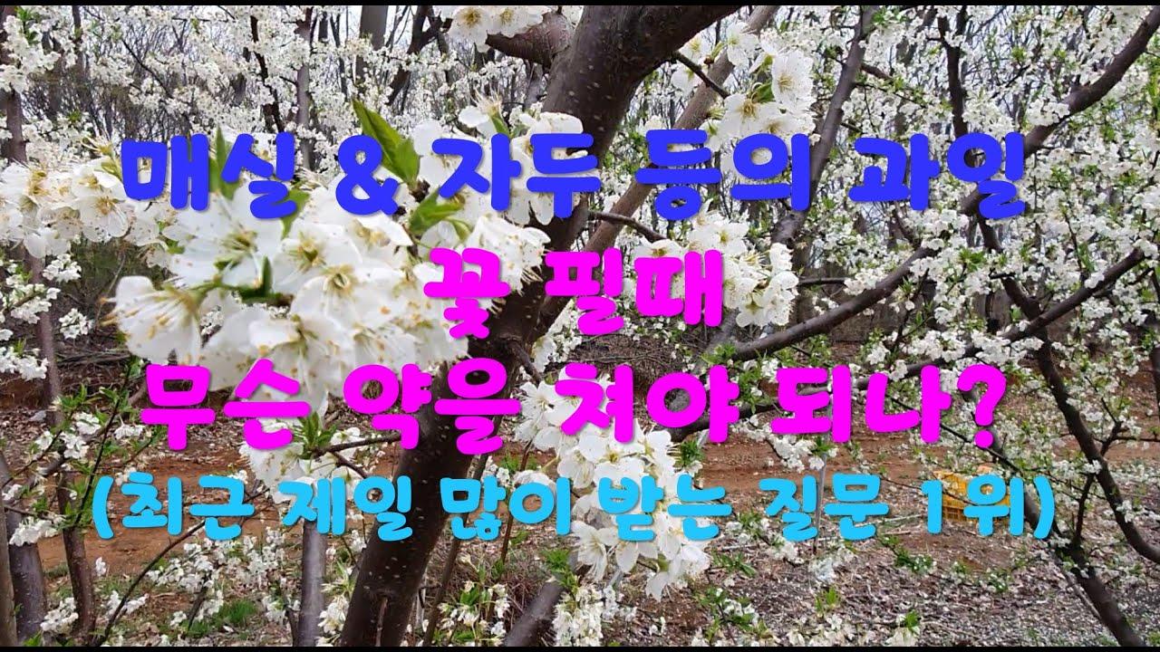 매실 & 자두 등의 과일나무 꽃 필때 치는 약은 무엇? 최근 가장 많이 받고 있는 질문 내용 What pesticides spray? On plum flowers blooming