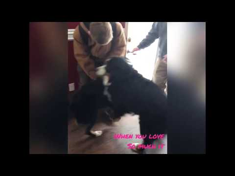Excited Bernese Mountain Dog Funny Video.....wait for it! 😂