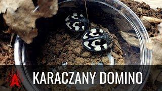 KARACZANY DOMINO - MEEEGA PRESTIŻOWE  - opis gatunkowy