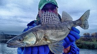 Судак дуреет от приманок для форели Ловля судака на спиннинг осенью Рыбалка на Клязьме