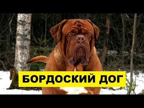 Бордоский дог описание плюсы и минусы породы | Собаководство | Порода собак бордоский дог