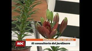 Cuidados y cultivo del Lilium, en el Consultorio del Jardinero de Álvaro Ruiz Moreno