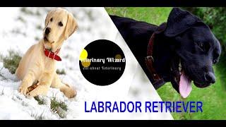 Breeds of Dogs(Labrador Retriever)