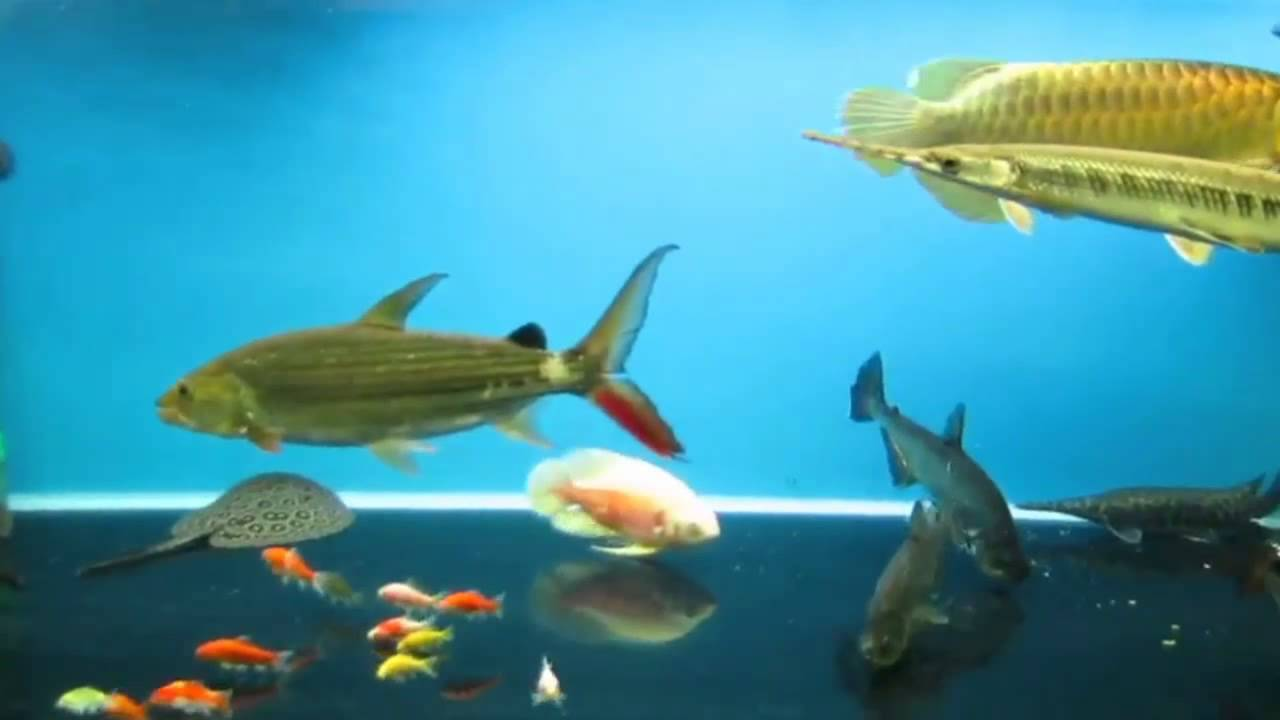 Kinds freshwater aquarium fish - Various Types Of Decorative Freshwater Fish Are Charming In A Tank Amazing Aquarium Pets
