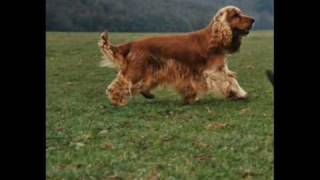 "Birchen Belshirash "" Shi "" - English Cocker Spaniel -"