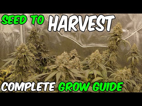 How to grow Blue Gelato 41 from SEED TO HARVEST Complete Grow Guide with TSL2000