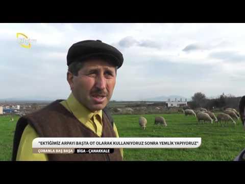 ÇOBANLA BAŞ BAŞA/BİGA-ÇANAKKALE