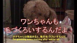 ナナちゃんは朝起きると、毎日毛づくろいするんだ。身支度するって感じ...