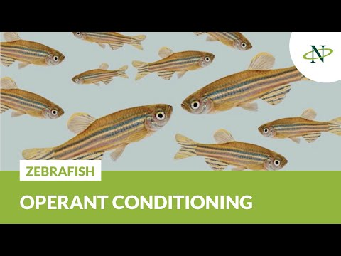 Operant Conditioning For Adult Zebrafish | Noldus Innovations