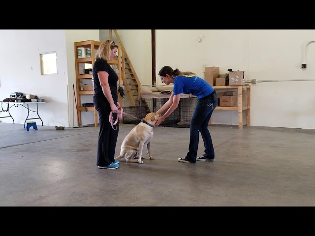 Canine Good Citizen Test or CGC at Ready Sit Go Dog Training In Denver