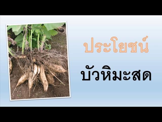 8 ประโยชน์บัวหิมะสด สรรพคุณพืชใต้ดิน ใครได้กิน อร่อยสุดๆ