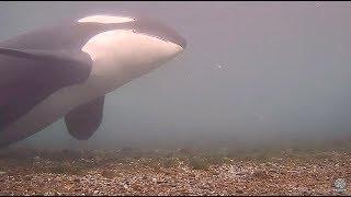 Orca at Rubbing Beach, filmed at 1:4 speed, September 23, 2017