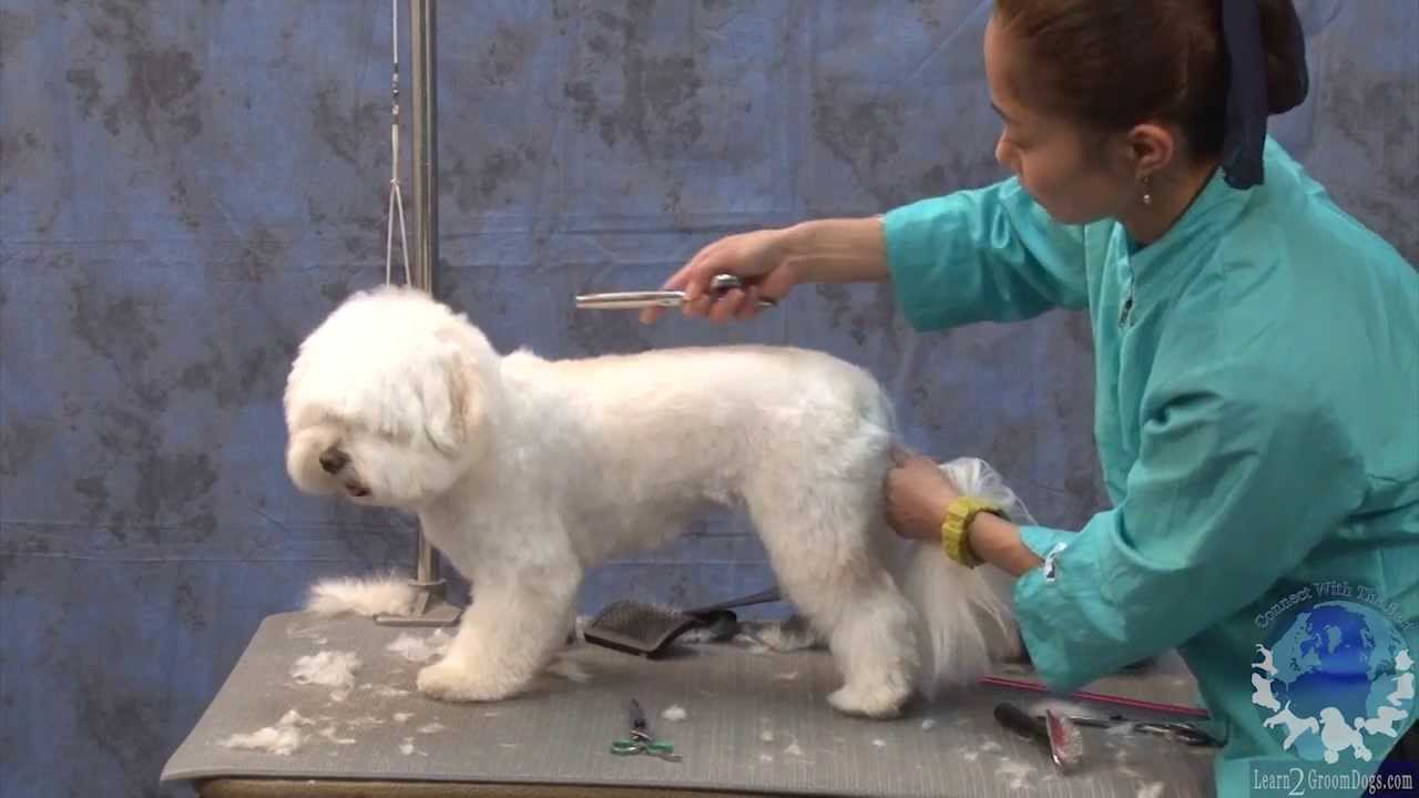 Grooming a havanese in a popular cute pet trim solutioingenieria Image collections