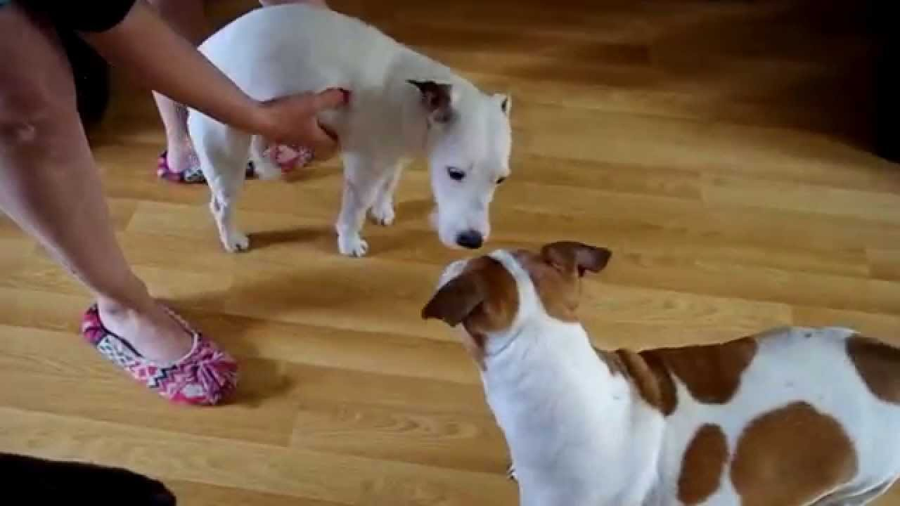 Parsons jack russell terrier fitting attack xylitol sweetner was the cause youtube - Jack russel queue coupee ...